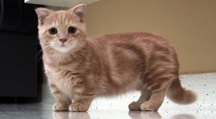 Рыжий кот породы манчикин