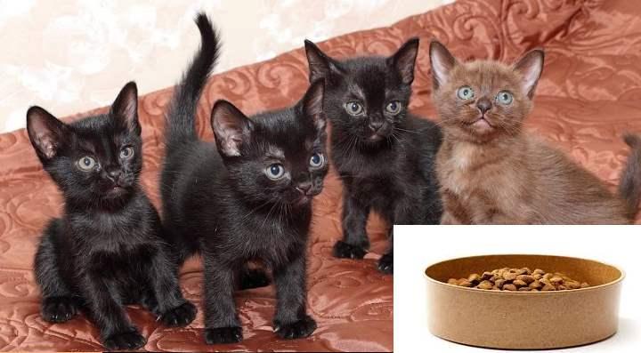 Питание котят бомбейской породы