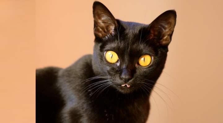 Голова и тело бомбейской кошки