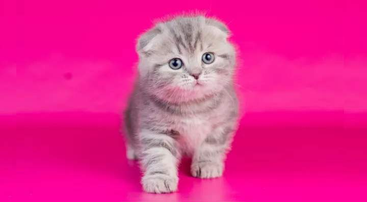 Кошки скоттиш фолд описние породы