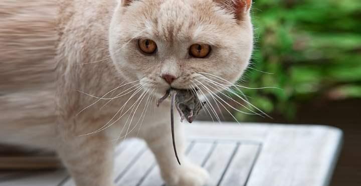 Рыжий британец ест мышь