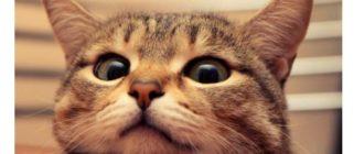 Перед кастрацией кота