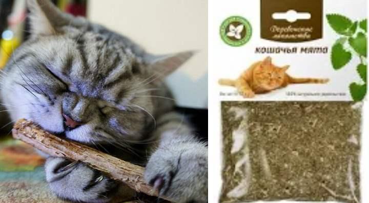 Кошачья мята лечебные свойства