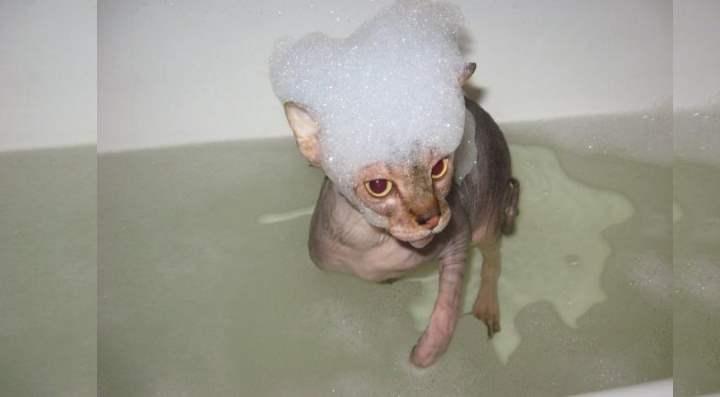 Лысый кот в ванной