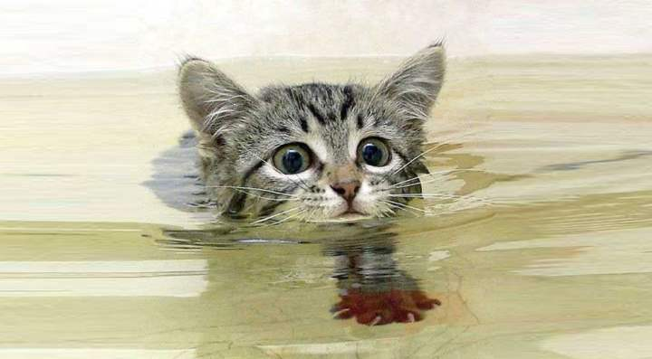 Как научить кота плавать