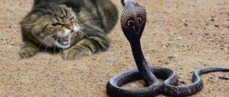 Кобра и кот