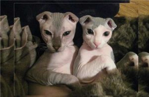 Распространено мнение, которое характеризует бесшерстных котов и кошек как дело рук дизайнера. В целом, такие уникальные мутации появились благодаря природе и времени.