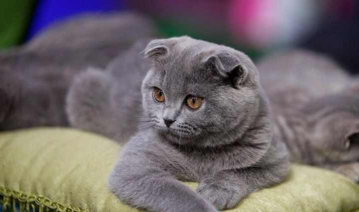 Особенности характера шотландских кошек