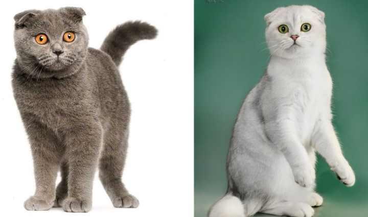 Как выглядит шотландская кошка?