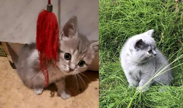 Характер британской голубой кошки