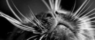 Основные причины, по которым у кота ломаются усы