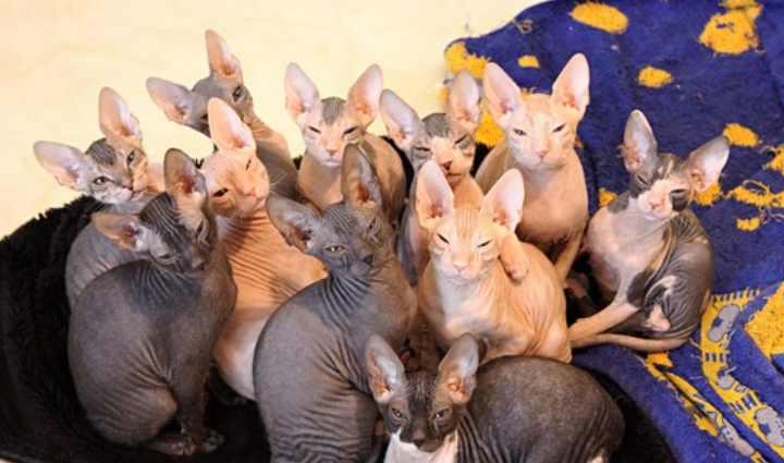 Упоминания о кошках, чье тело было без шерсти, встречаются еще в далекие времена индейцев Майя