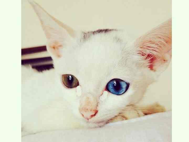белоснежные сиамские кошки очень любят забираться повыше