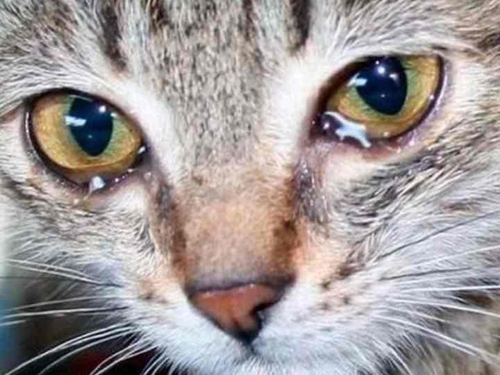 Капли для глаз коту от коньюктивита