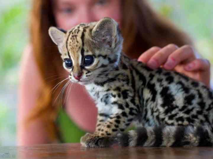 Порода кошек оцелот как таковая не существует