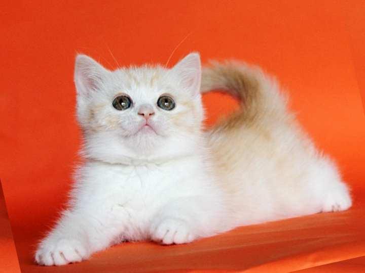 Котенок бело рыжий