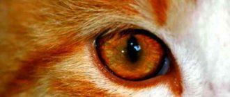 Лечение болезней глаз у кошек связанным с воспалением