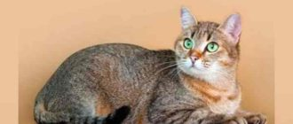 Кошка выглядит как холёный шарик, особенно когда аккуратно сидит.