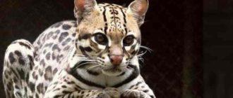 для зоопарков онцилла очень редкое животное