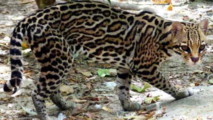 Тигровая кошка онцилла – всё о ней, содержание в неволе и цена покупки
