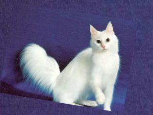 турецкая белая порода кошек возглавляла бы сей грустный список