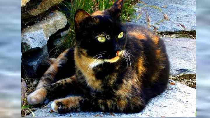 Бывают ли трёхцветные коты-мальчики и как часто можно встретить черепаховую кошку