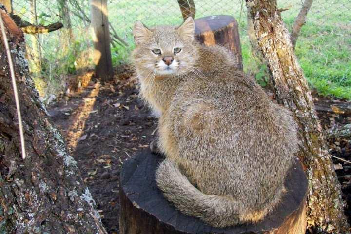 Негласное название пампасской кошки – травяной кот
