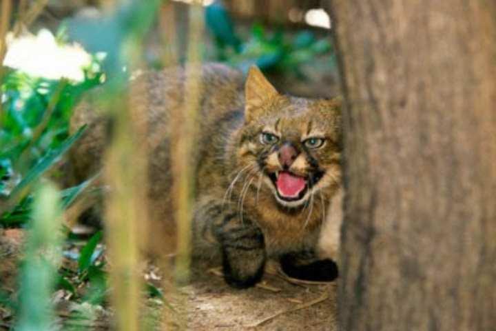 Южноамериканская пампасская кошка животное средних размеров