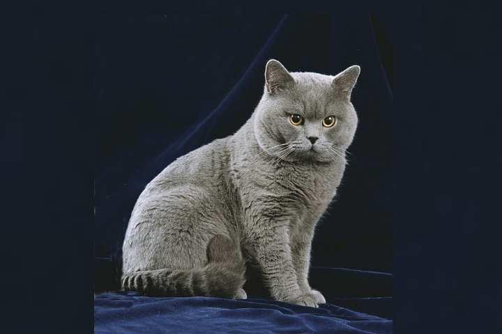 Предками породы были римские кошки крысоловы