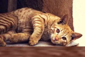 Сколько дней гуляет кошка и как часто это происходит