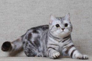 Какие есть породы кошек серого цвета с породой