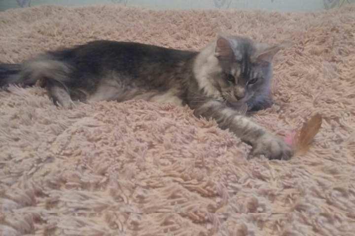Виды и особенности содержания пушистых котов: вычёсывание, питание и особенная гигиена