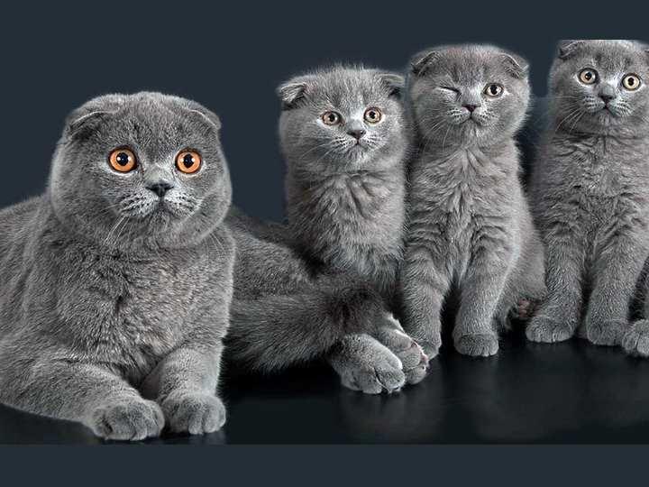 ТОП-5 пород котов с приплюснутой мордой: от аборигенных до выведенных пород