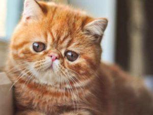 Персидский кот с плоской мордой