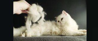 Лысеть кошка начала вне сезонности.