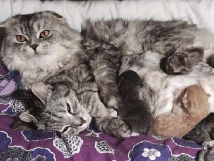 Взрослый скоттиш фолд это обязательно котик с прижатыми к голове ушками