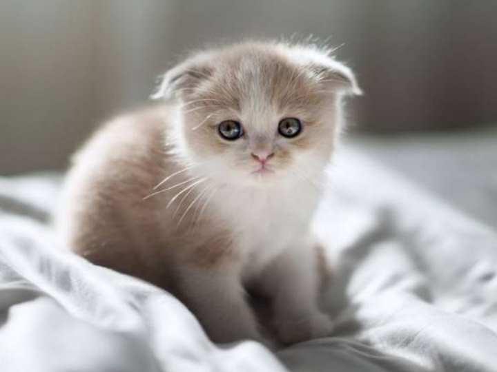 порода вислоухих шотландских кошек славится своей молчаливостью