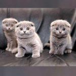 По характеру шотландские вислоухие котята очень тихие