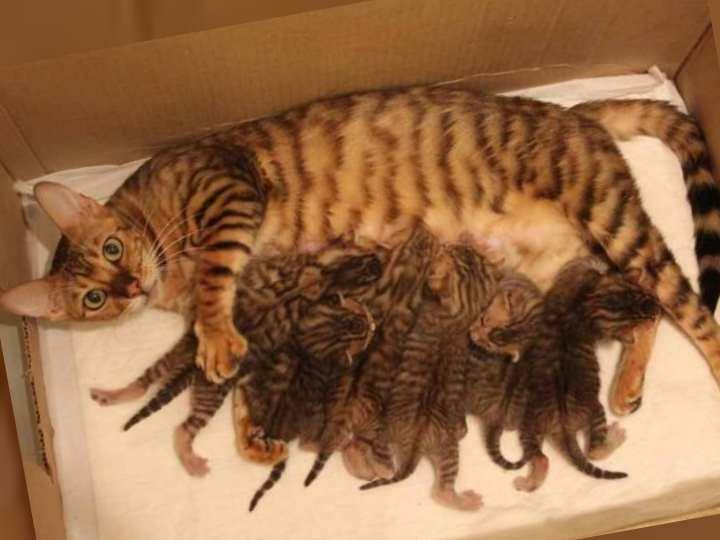Котят отлучать от матери лучше после 2 месяцев