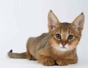 Содержание кота – питание и ветеринарный контроль;