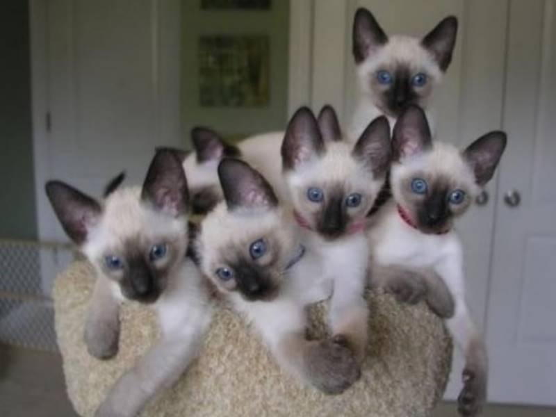 Разводить кошек можно рассматривать как дополнительный заработок, совмещая с какой-либо ещё работой