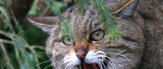 На охоту кошка выходит, как и любой другой вид мелких кошачьих, в сумерках