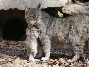 Но, несмотря на всю суровость и осторожность, есть множество причин исчезновения кавказского лесного кота.
