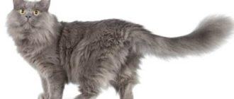 Порода-долгожитель часто вырастает в среднем до 5-6 килограмм