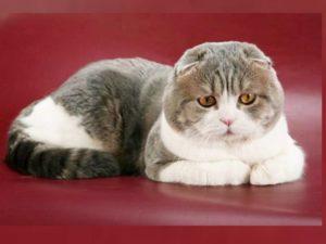 Цена за котенка варьируется в районе 1000 долларов, но купить красавицу можно только в США.