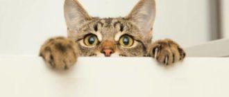 Объем памяти у кошек