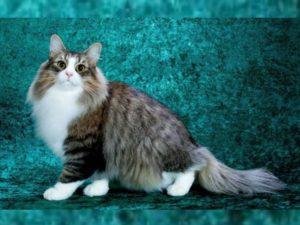 Норвежская лесная порода кошек весь свой интеллект выдаёт во взрослом возрасте