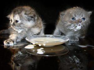 С 2 до 6 месяцев котята уже полностью отлучаются от кошки