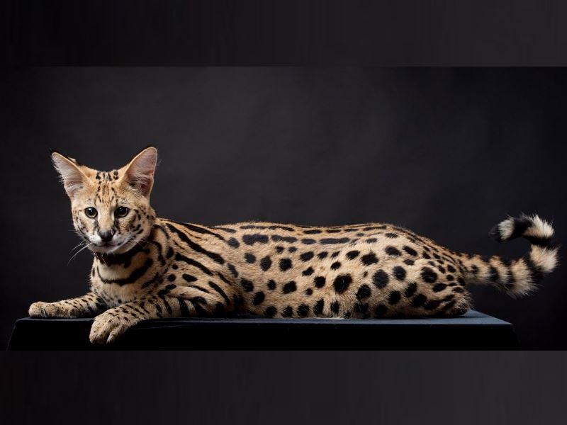 многие редкие породы кошек как таковыми породами ещё не являются