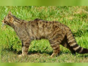 Африканский степной кот